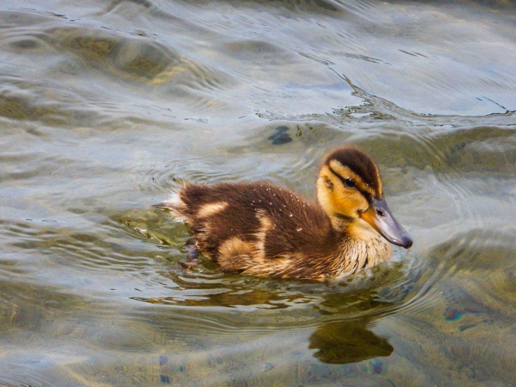 Petite rencontre sur le lac Stukely