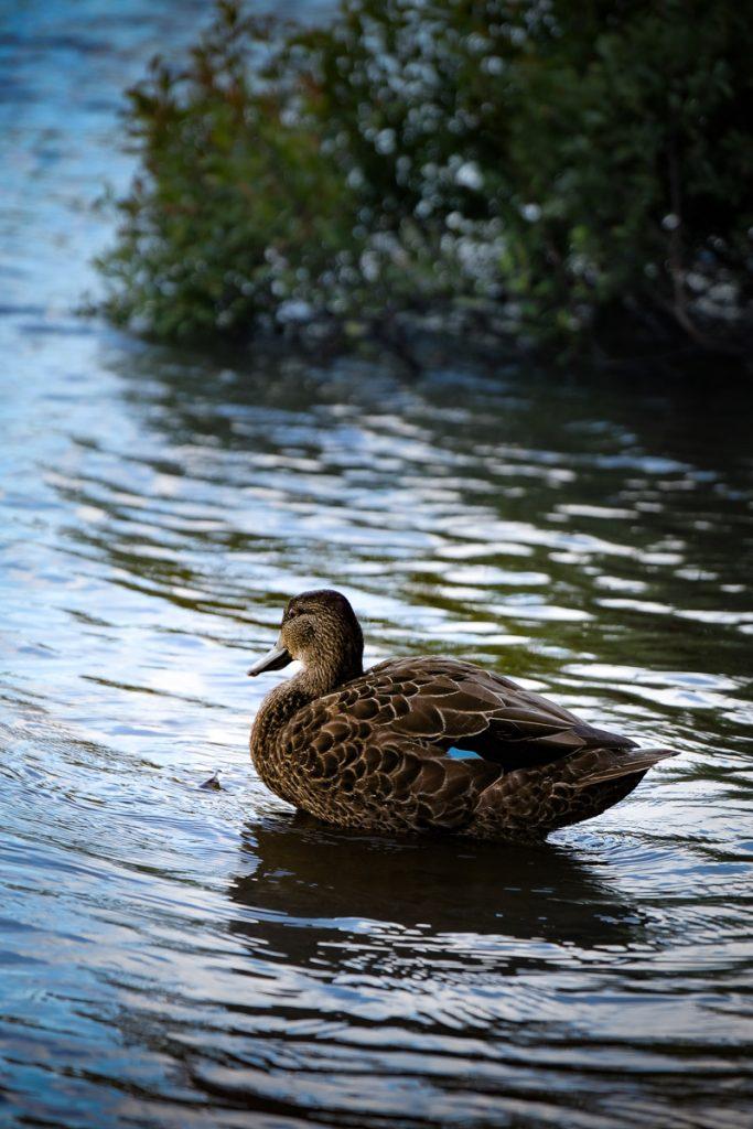 On a vu plusieurs petites familles de canard sur le lac