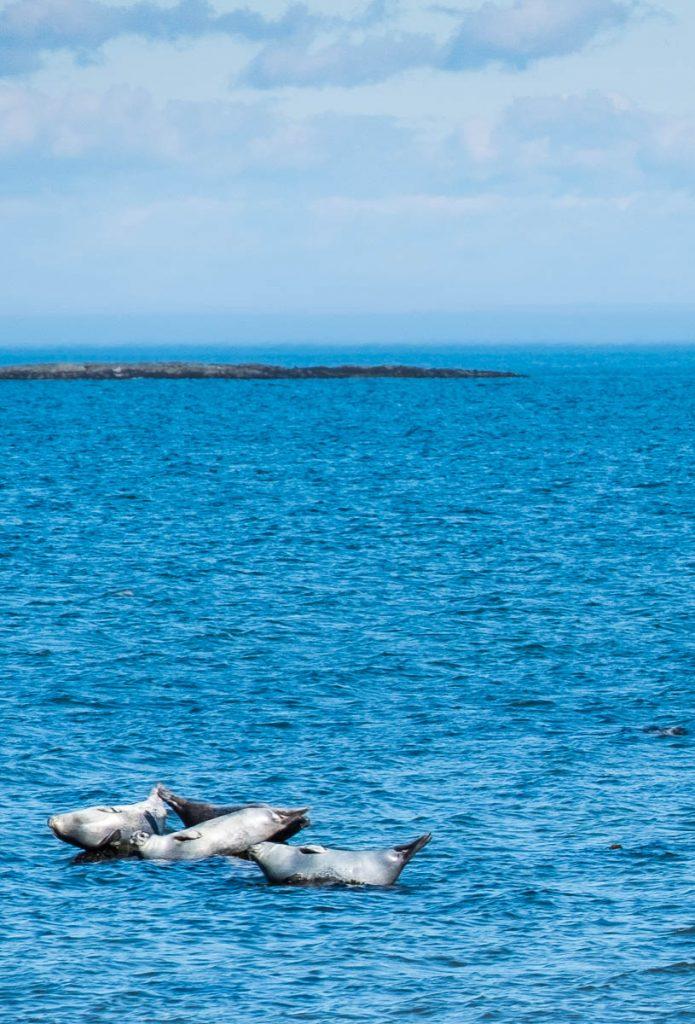 Observation des phoques à Cap Caribou