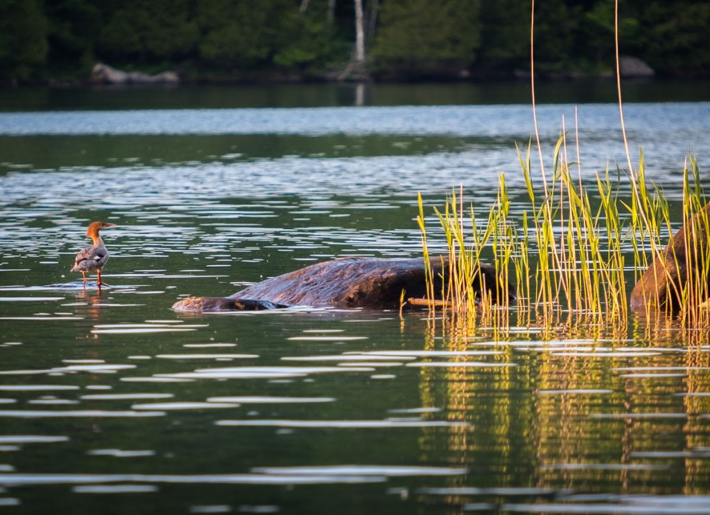 Grand harle sur le lac Stukely