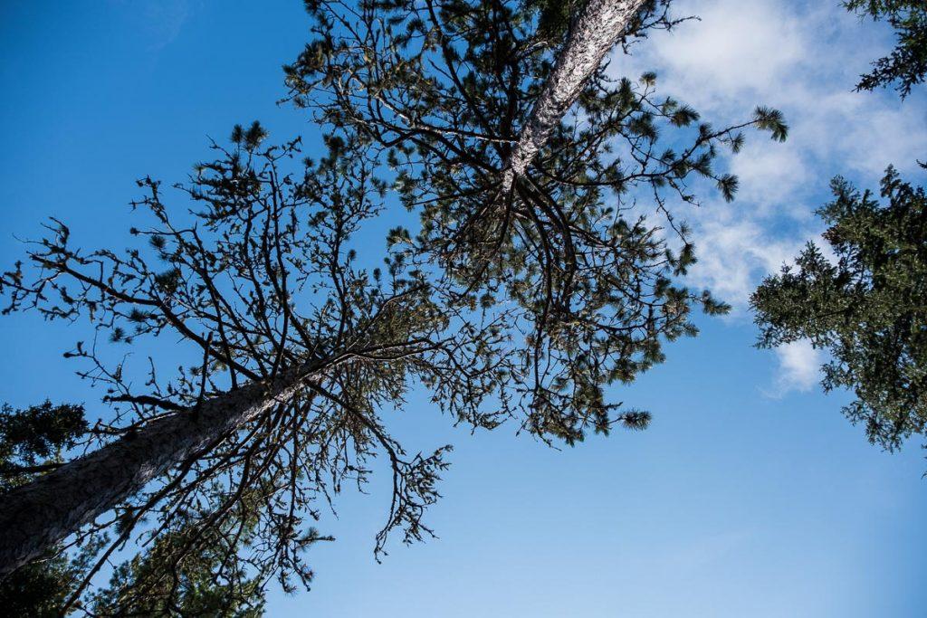 Les grands pins de La Montagne-du-Chaudron
