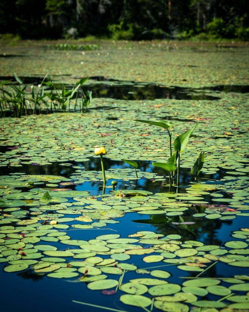 Grand nénuphar jaune, Lac à la Barbue
