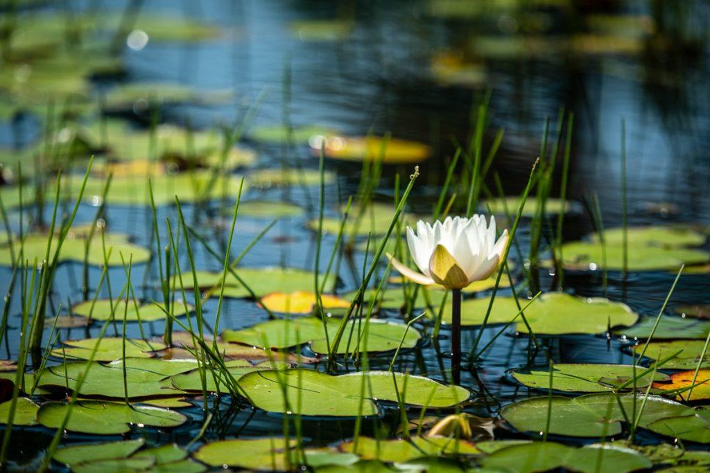 Nymphéa, Lac à la Barbue