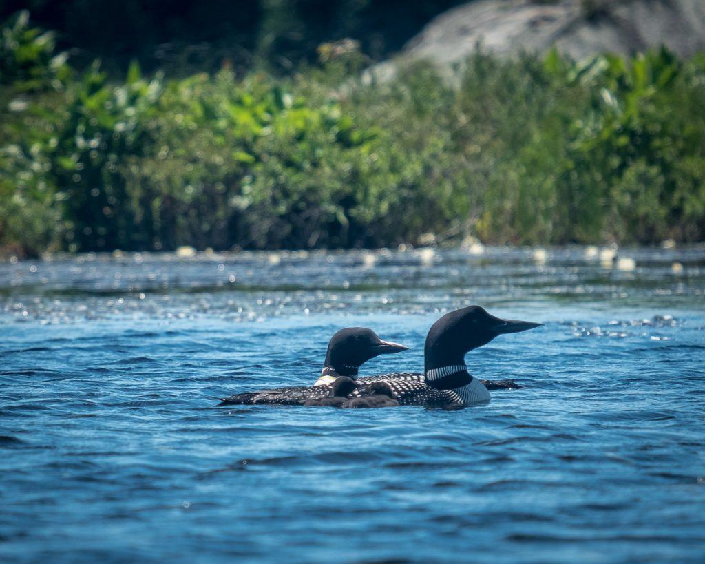 Famille de huard au Lac à la Barbue